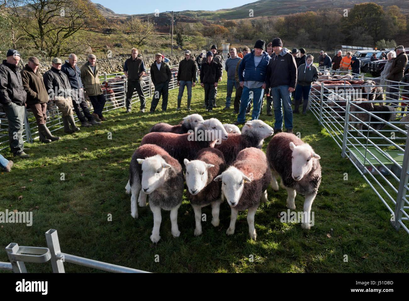 Walna Scar Shepherds Meet,  Newfield, Seathwaite, Cumbria, UK - Stock Image