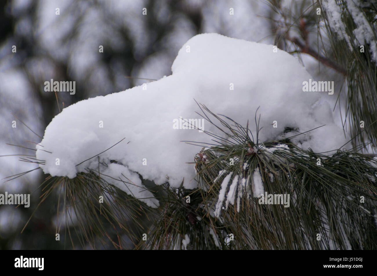 Snow On a Branch, Winter - Stock Image