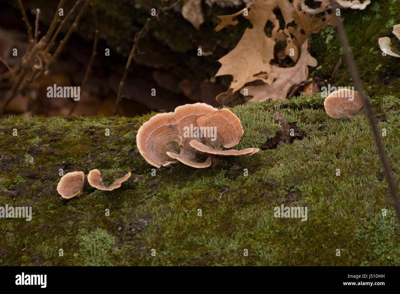 Turkey Tail Fungus (tramete versicolor) on a log. - Stock Image