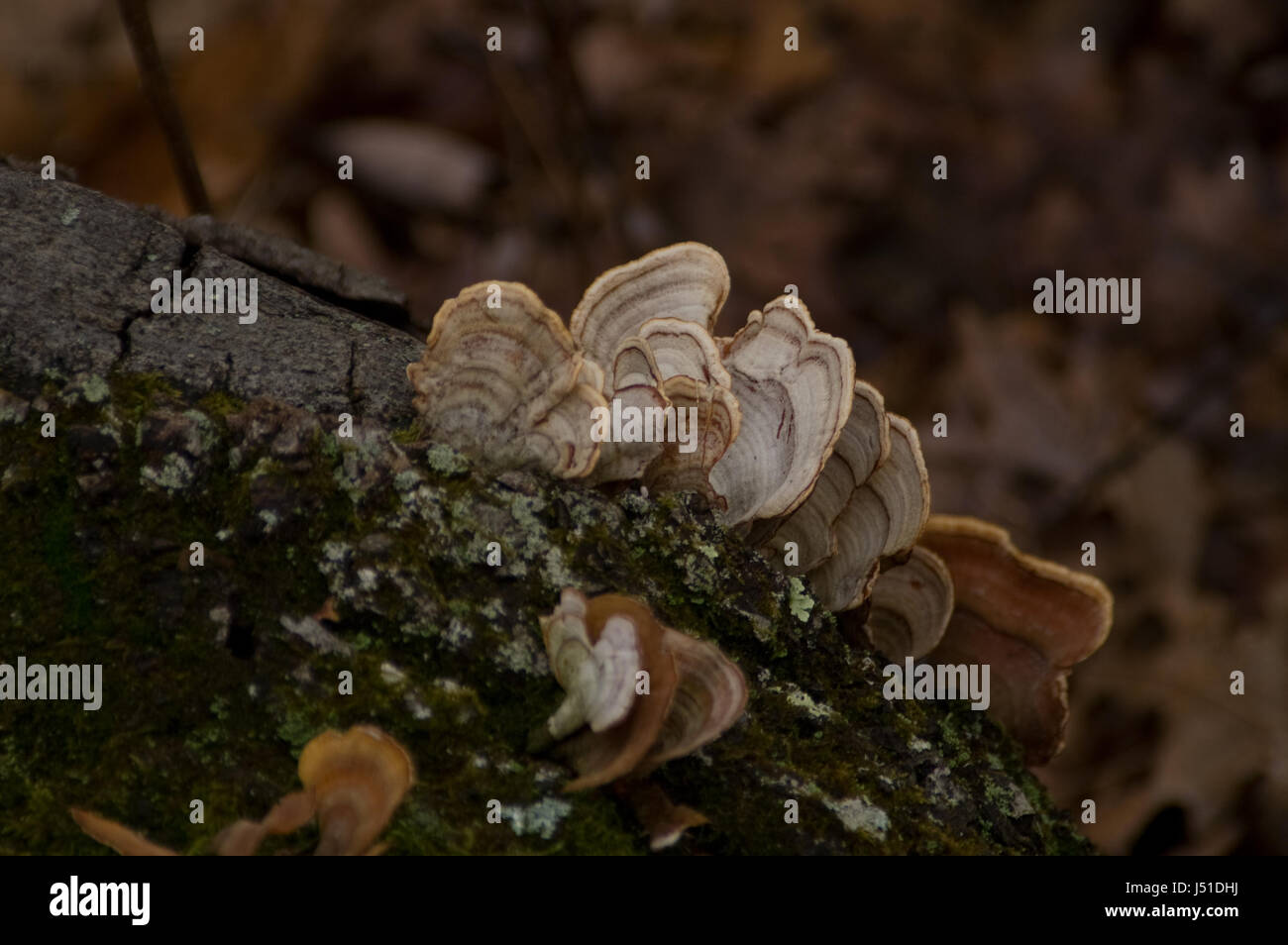 Turkey Tail Fungus (Trametes Versicolor)  growing on a tree trunk - Stock Image
