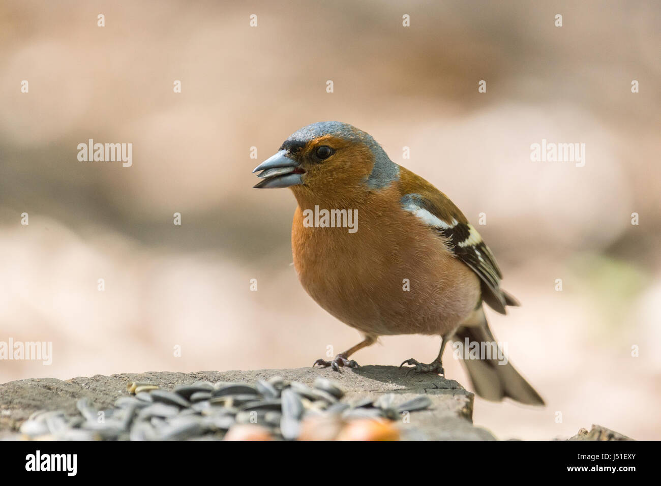 The picture shows a chaffinch on a branch - Stock Image