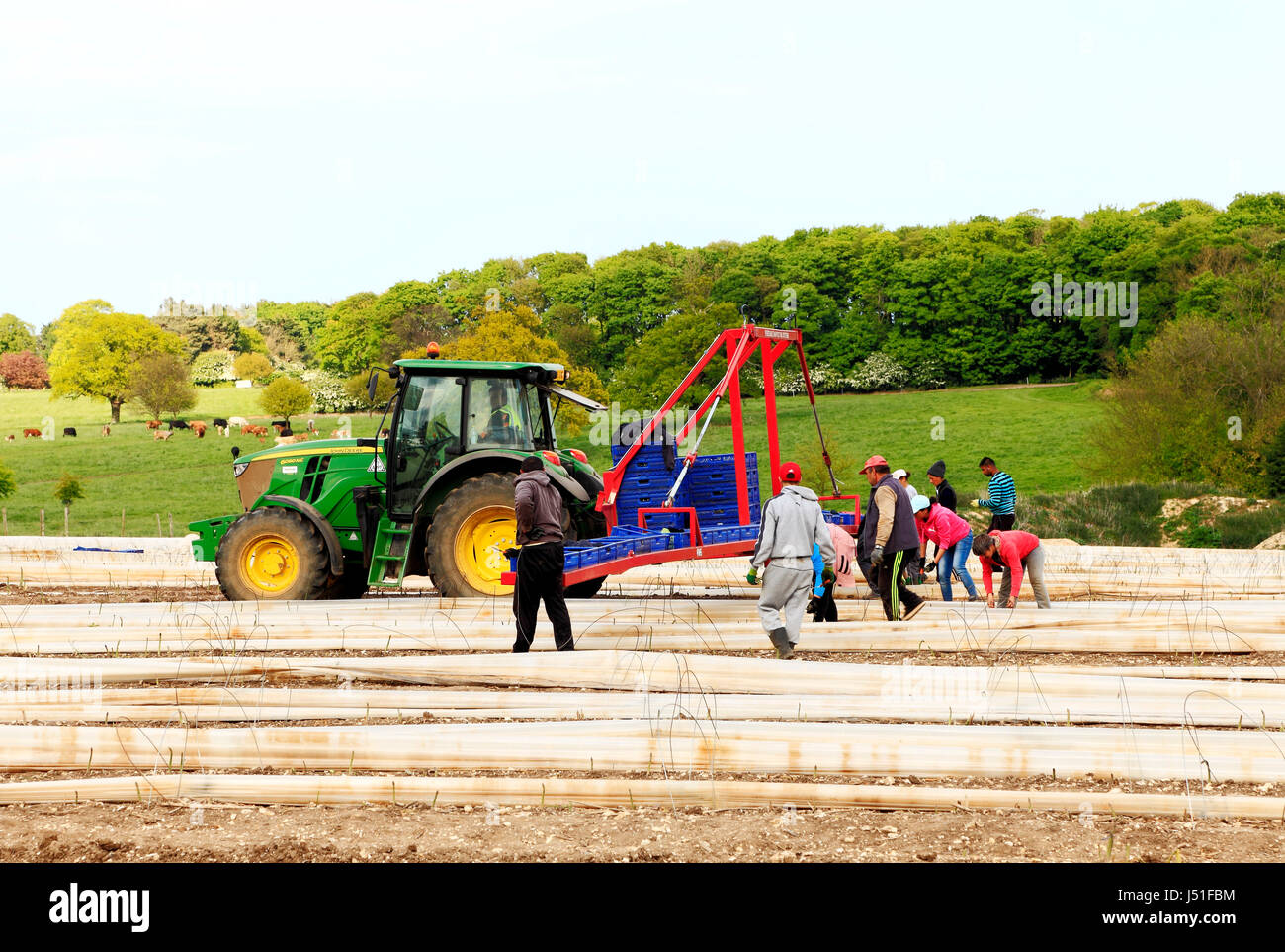 Immigrant casual agricultural labourers, workers, from Romania, Bulgaria, removing polythene tunnels, asparagus - Stock Image