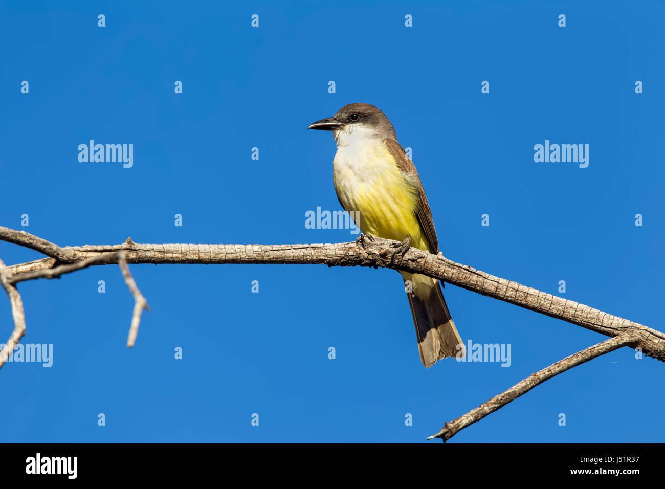 Thick-billed Kingbird  Tyrannus crassirostris Walker Canyon, Pajarito Mountains, Santa Cruz County, Arizona, United - Stock Image