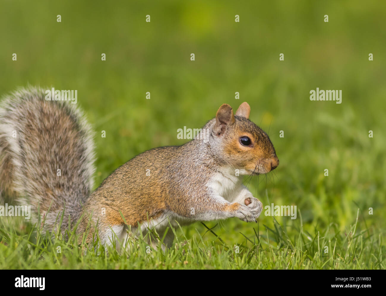 Adorable and funny Eastern Gray Squirrel (Sciurus carolinensis) on a bright day with room for copy on side - Stock Image
