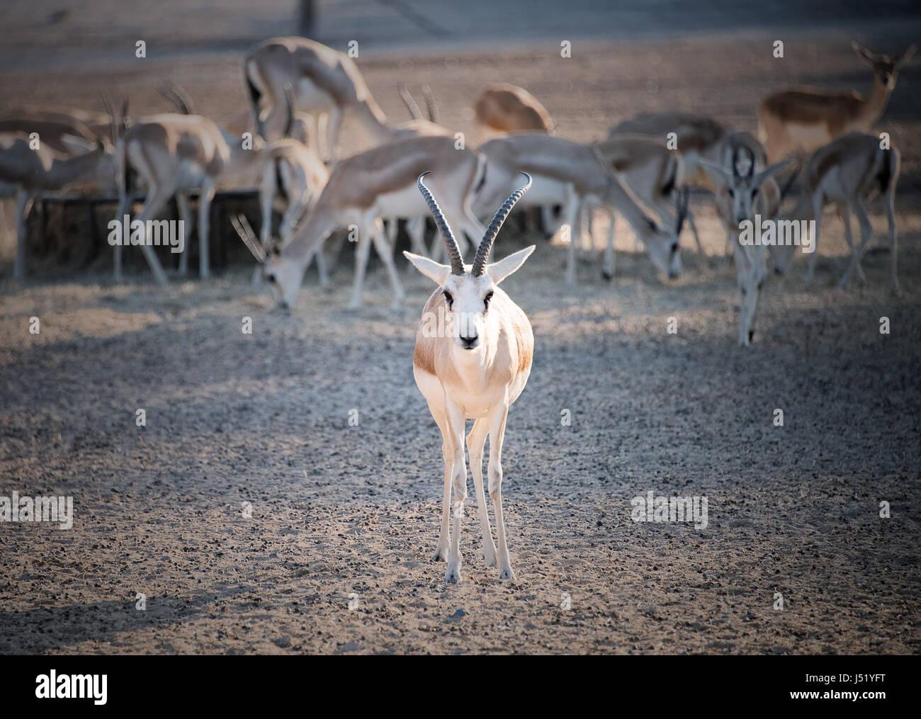 Sand Gazelle - Stock Image