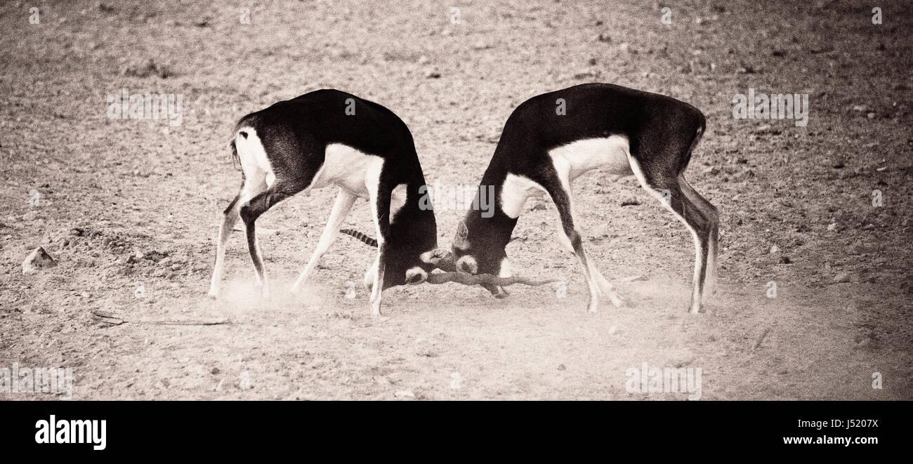 Fighting Gazelle - Stock Image
