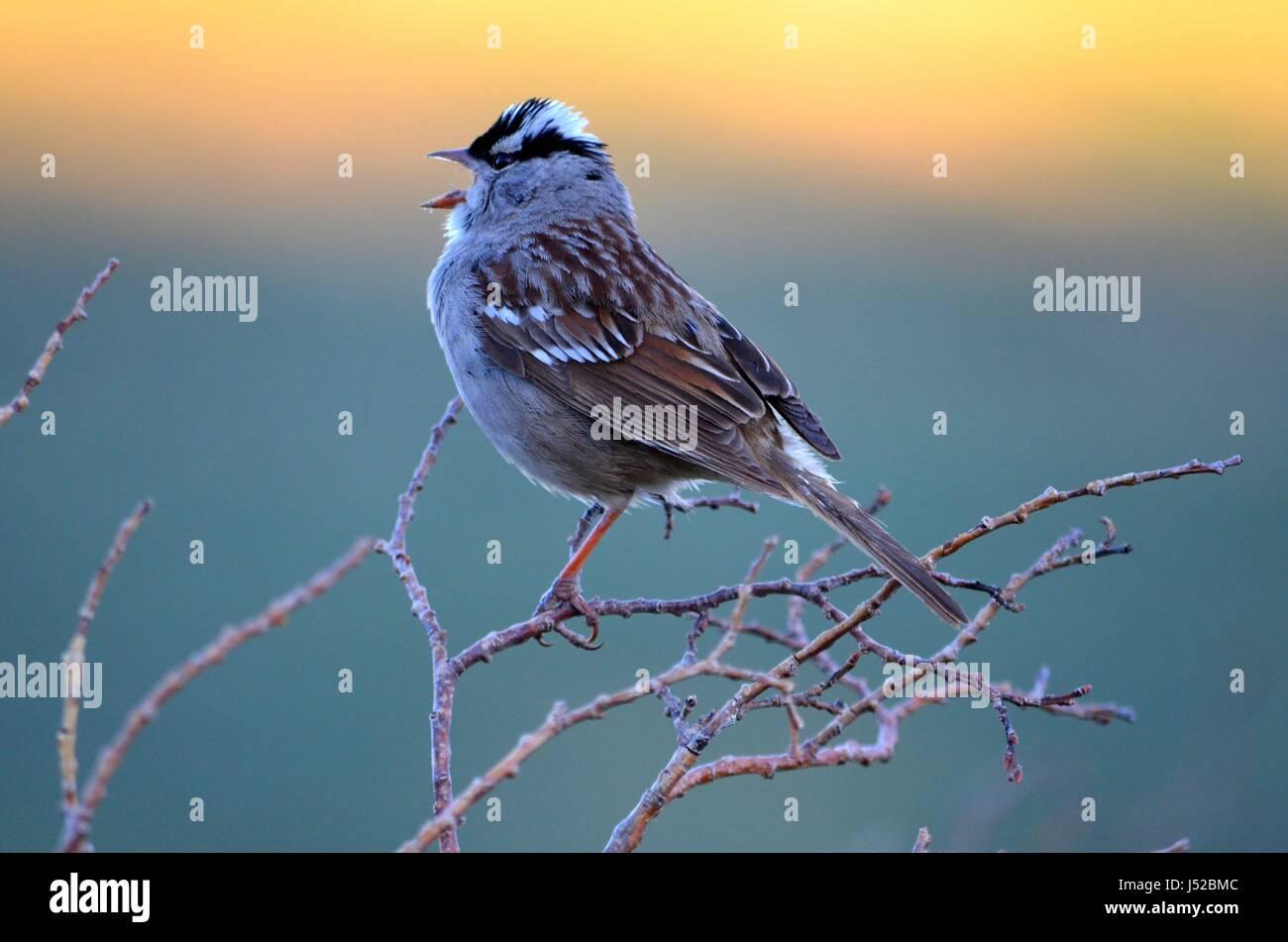Sparrow Singing at Sunrise - Stock Image