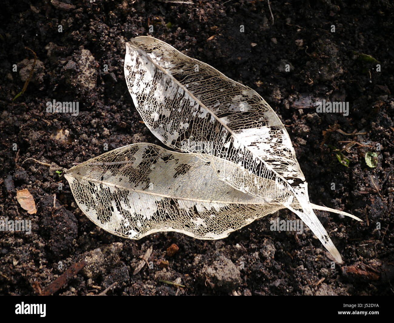 Skeleton veins of two white leaves lying on earth Stock Photo
