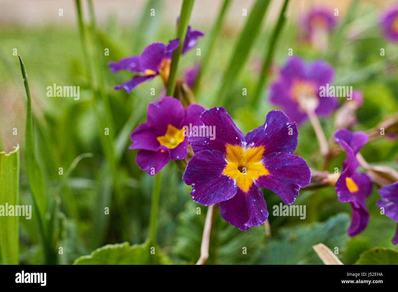Primrose spring flowers grow on the ground against a background of spring flowers grow on the ground against a background of green grass the petals are violet the middle is yellow russia moscow region mightylinksfo