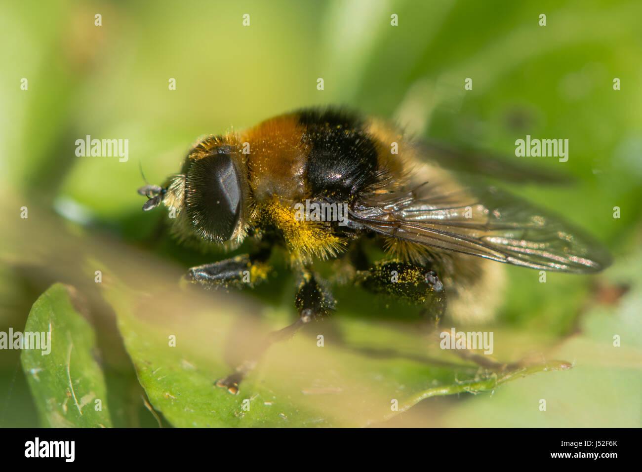 Narcissus Bulb Fly (Merodon equestris). Hairy bumblebee mimic in the family Syrphidae, subfamily Merodontini, aka Stock Photo
