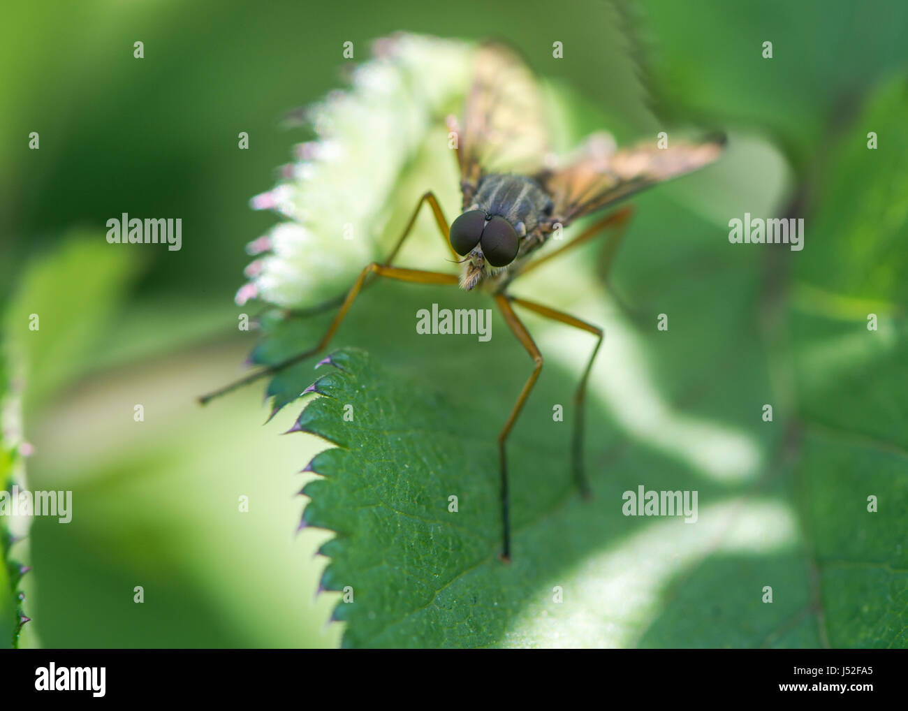 Snipe fly (Rhagio scolopaceus). Large compound eyes and slender orange legs of true fly in the family Rhagionidae - Stock Image