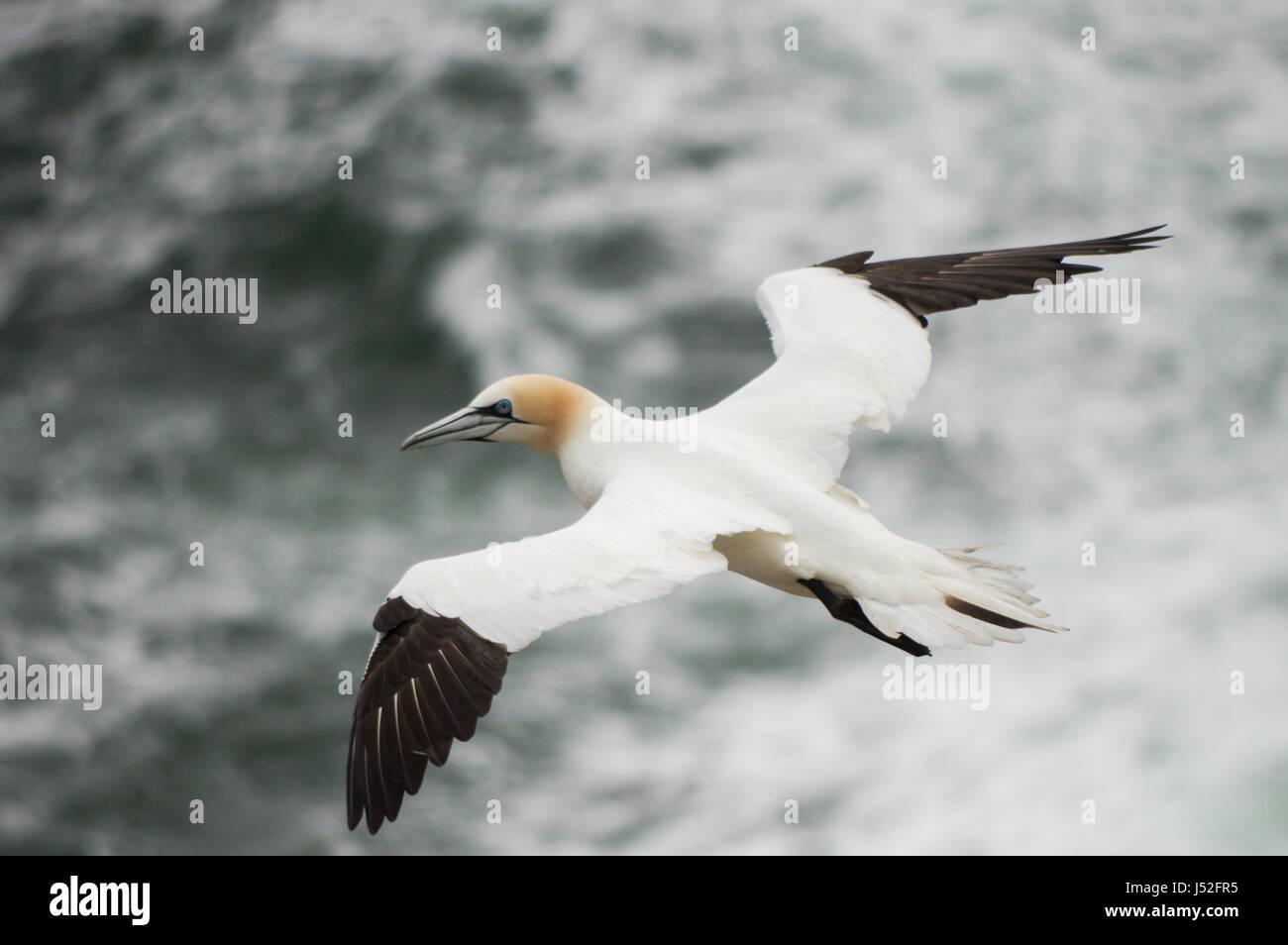 Gannet in flight - Saltee Islands, Ireland - Stock Image