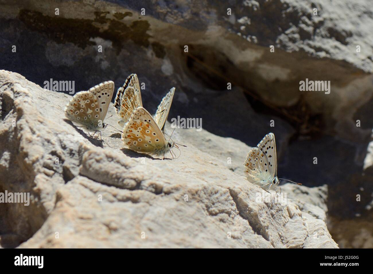 Group of male Chalkhill blue butterflies (Polyommatus coridon) gathering salts from a rock, Cares Gorge, Picos de - Stock Image