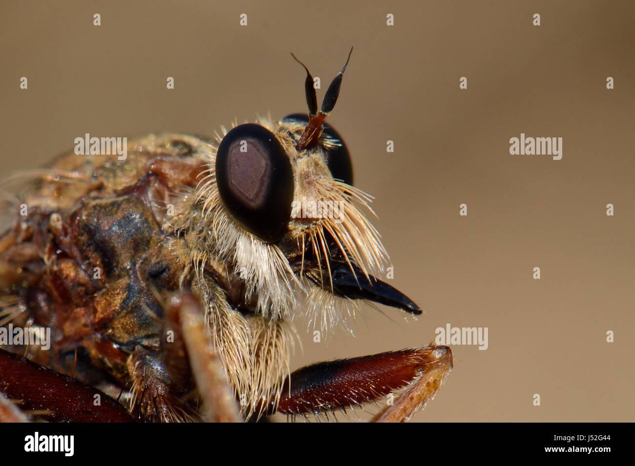 Close up of a Hornet robberfly (Asilus crabroniformis) head as it scans for prey, Picos de Europa mountains, Asturias, - Stock Image