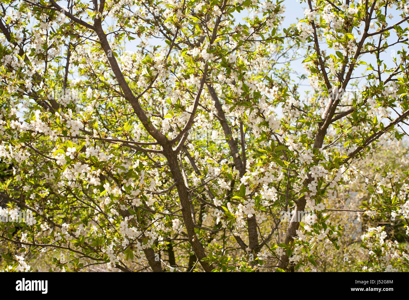 Spring Apricot Apple Trees In Blossom Flowers Of Apricot White