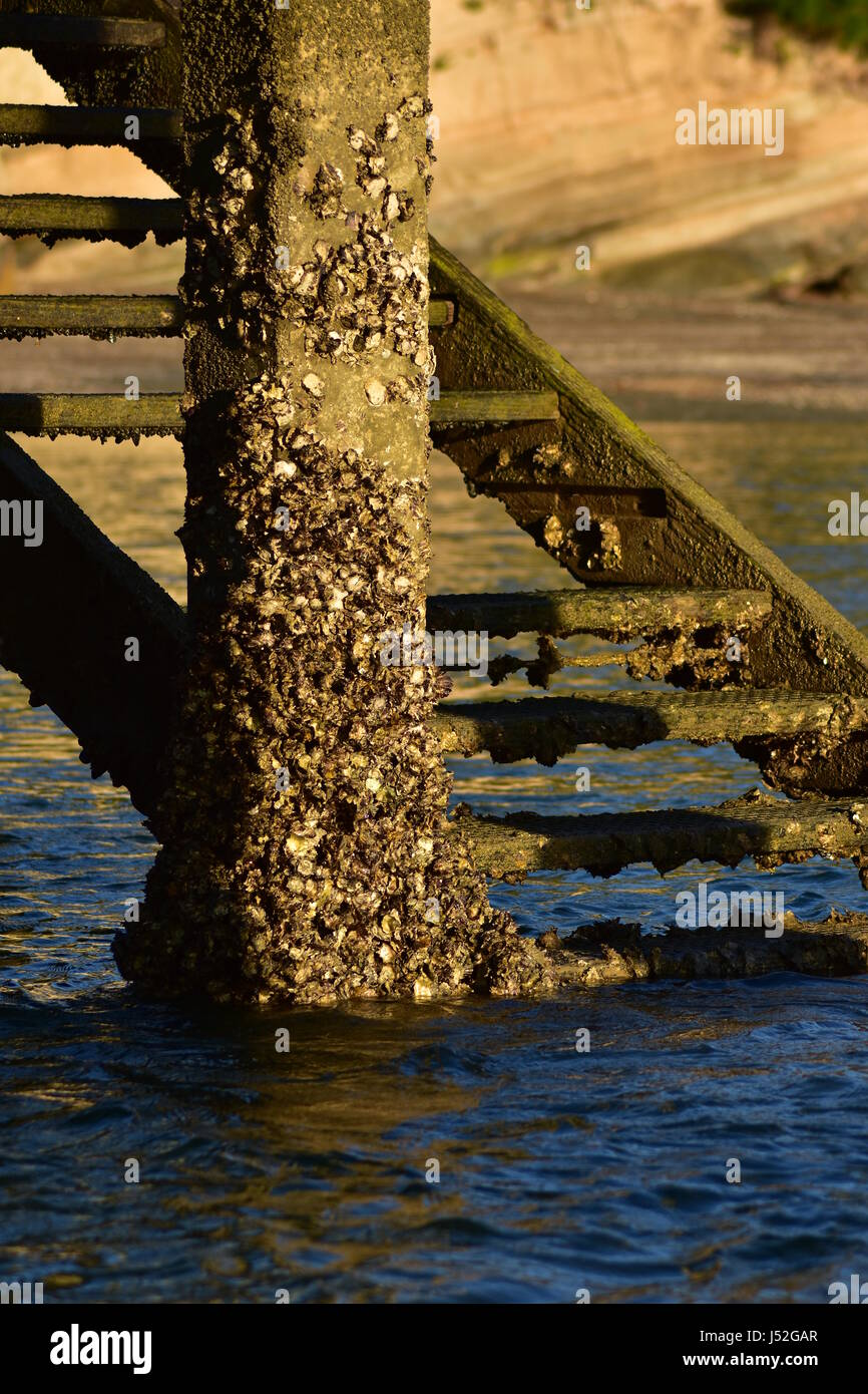 Old wooden wharf stairs next to concrete pillar densely covered with oyster shells. - Stock Image