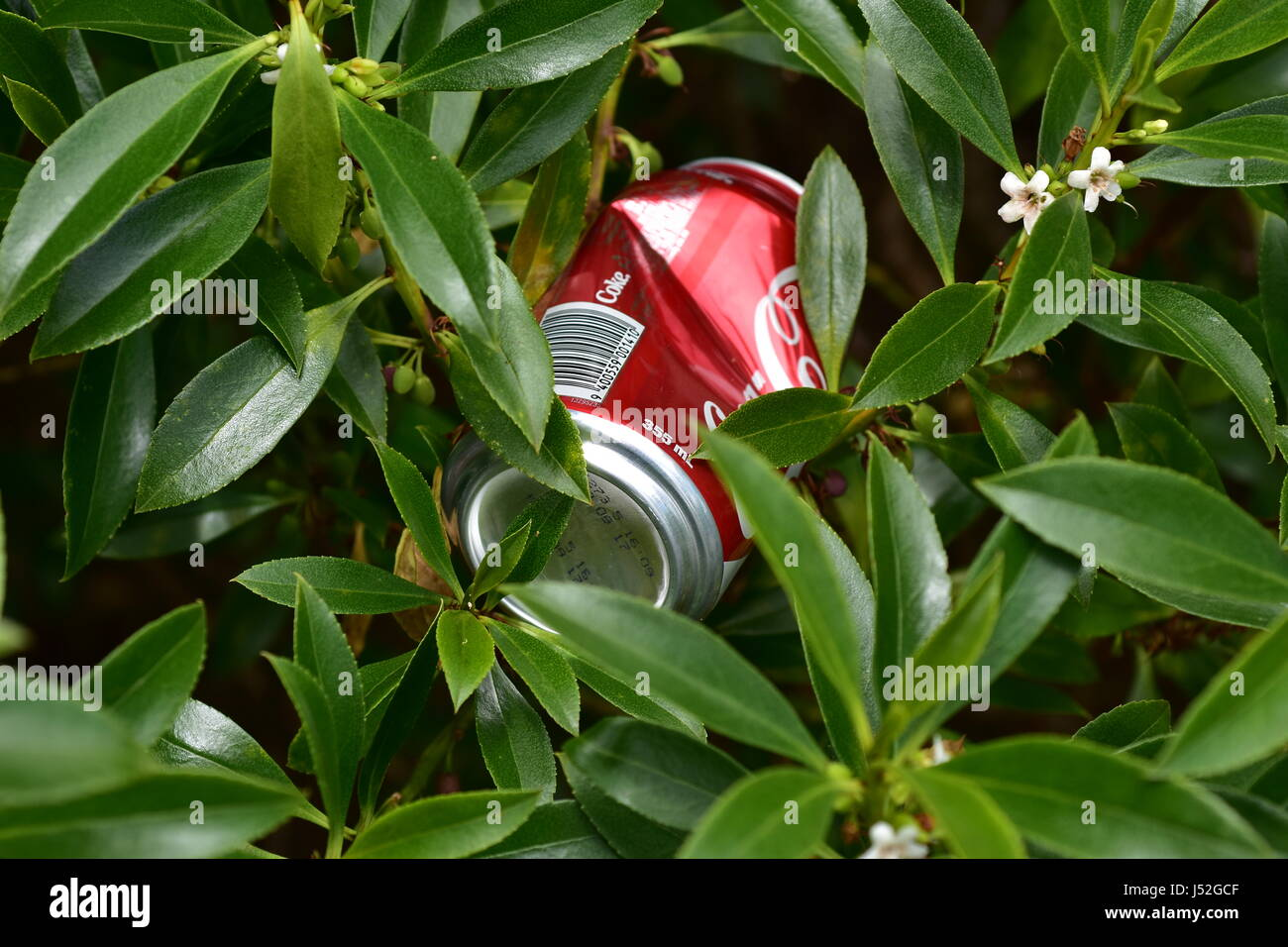 Coca-Cola drink can thrown out among greenery. - Stock Image