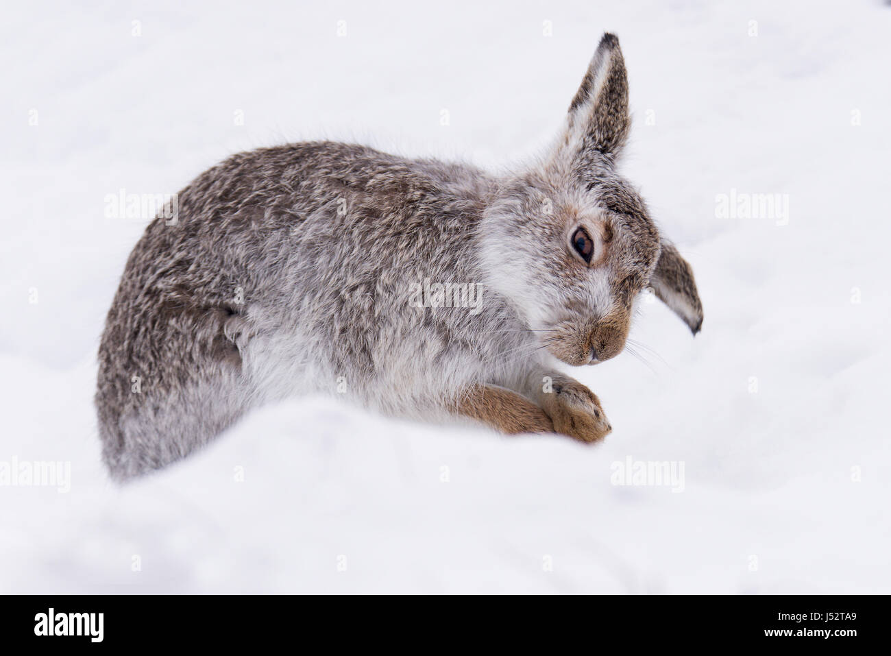 Mountain hare grooming  (lepus timidus) - Stock Image