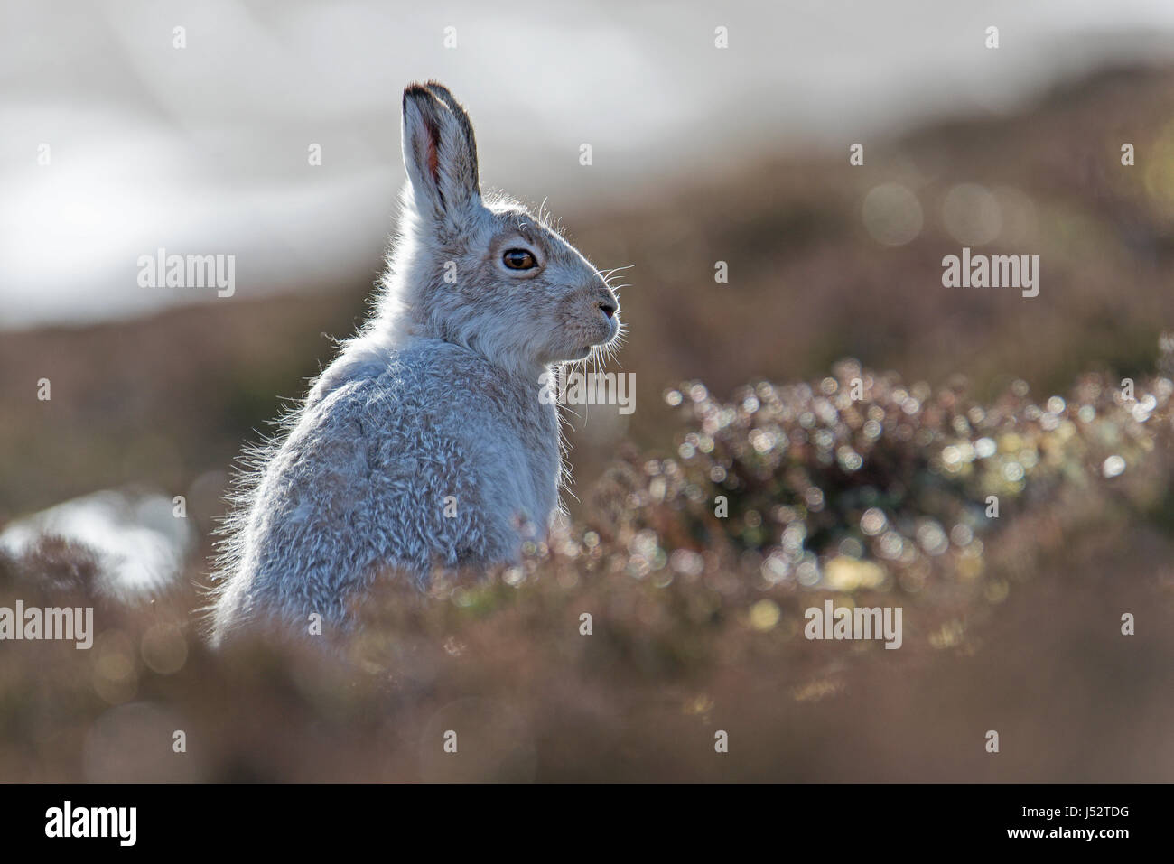 Side-lit mountain hare in profile (lepus timidus) - Stock Image
