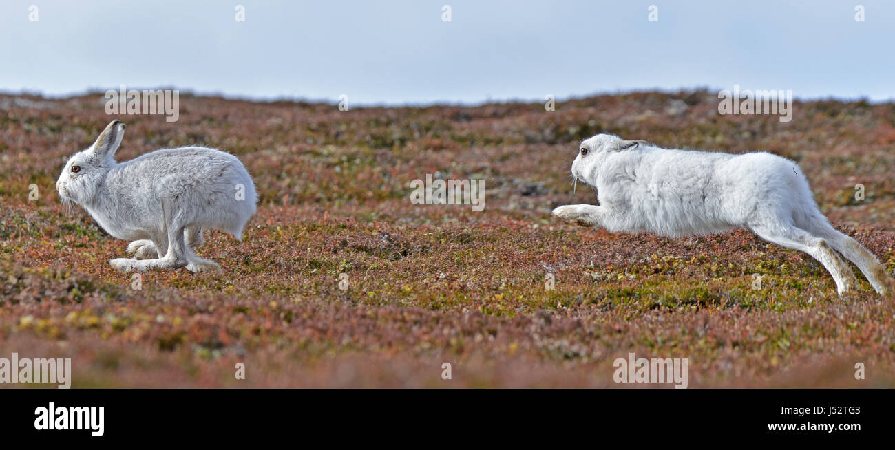 Mountain hares chasing one another  (lepus timidus) - Stock Image