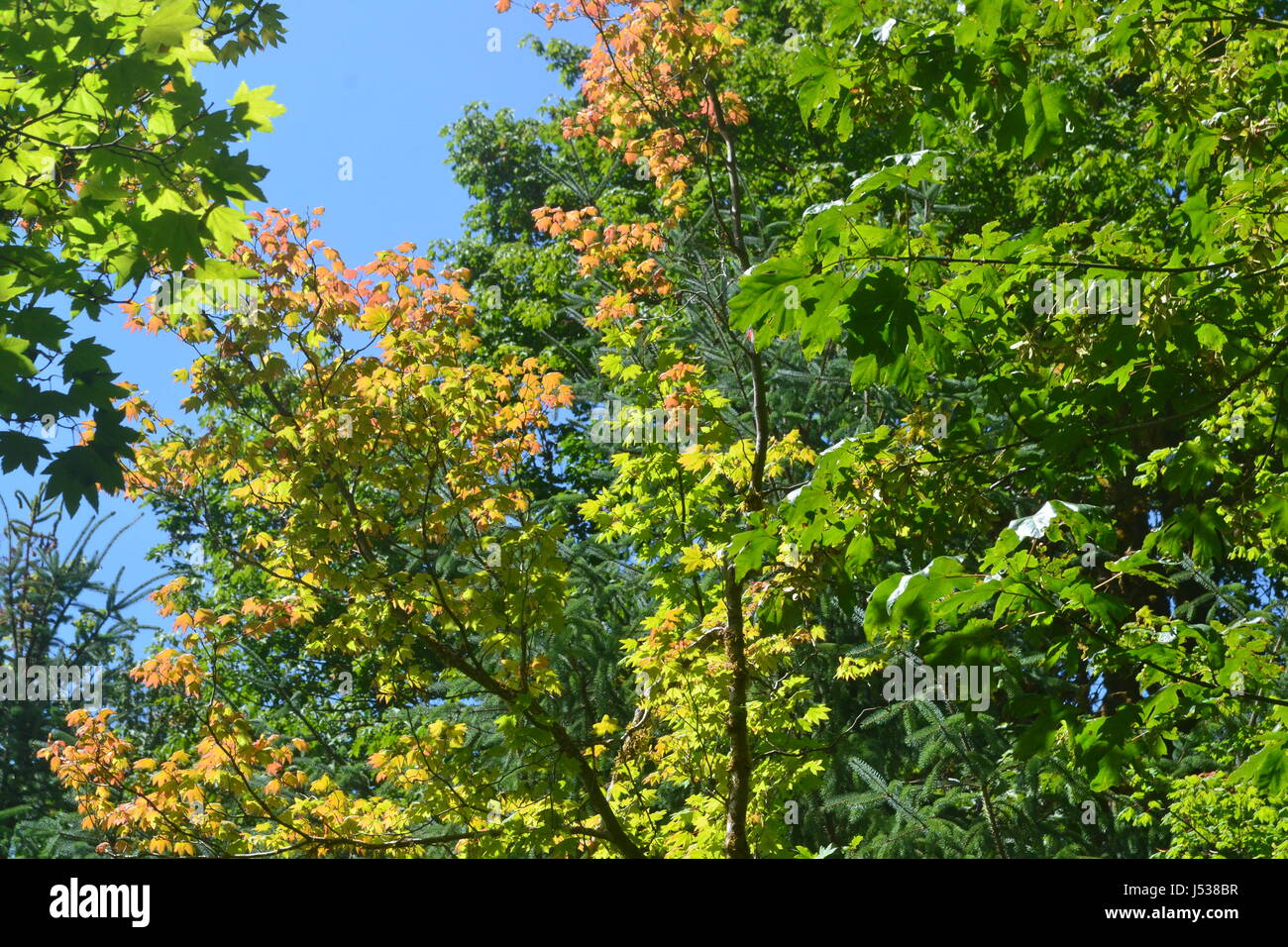 Vine Maple changing color Stock Photo: 140828683 - Alamy