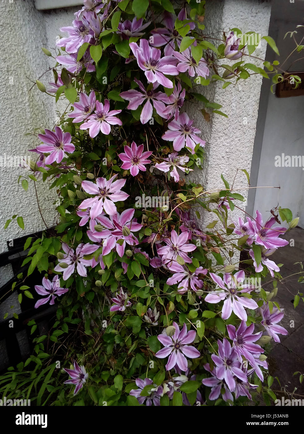 Clematis Nellly Moser, family Ranunculaceae, is an evergreen shrub, a climbing, twining deciduous herbaceous perennial - Stock Image