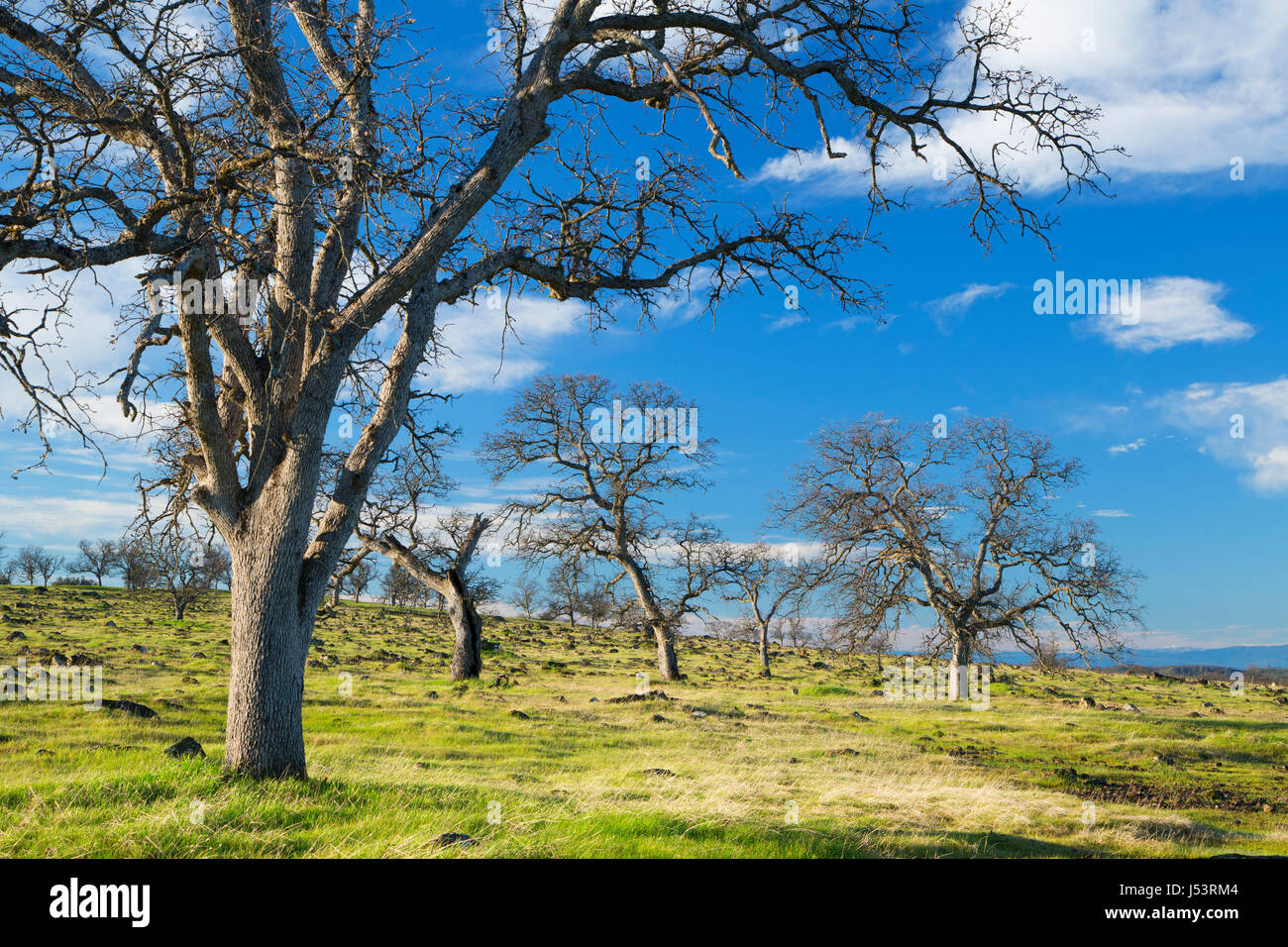 Oak woodland, Sacramento River Bend Area of Critical Environmental Concern, Paynes Creek Wildlife Area, California Stock Photo