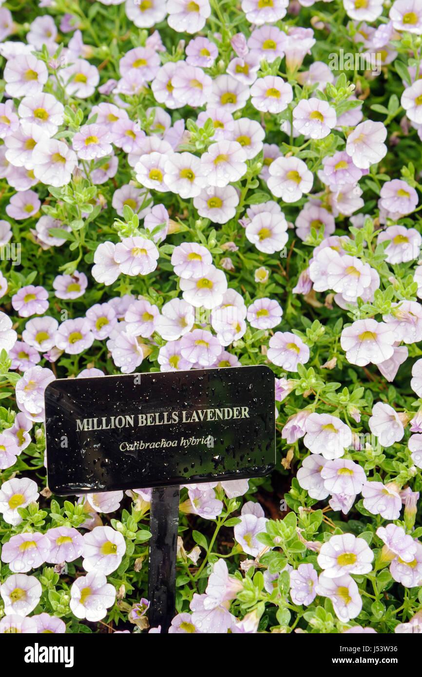 Arkansas Hot Springs Garvan Woodland Gardens Lavender Million Bells