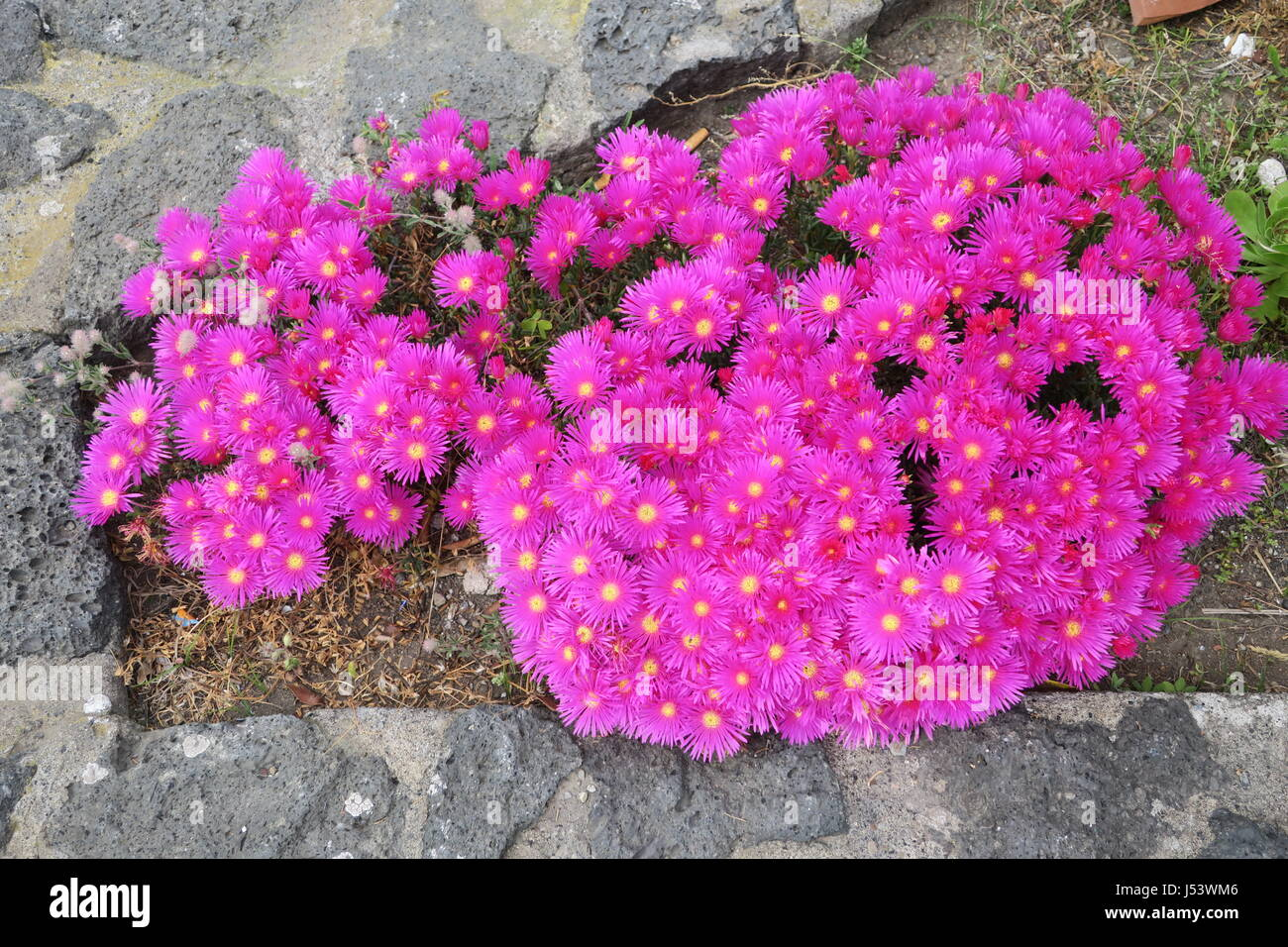 Daisy Is Perennial Flower With Lots Of Blossoms Native To Stock