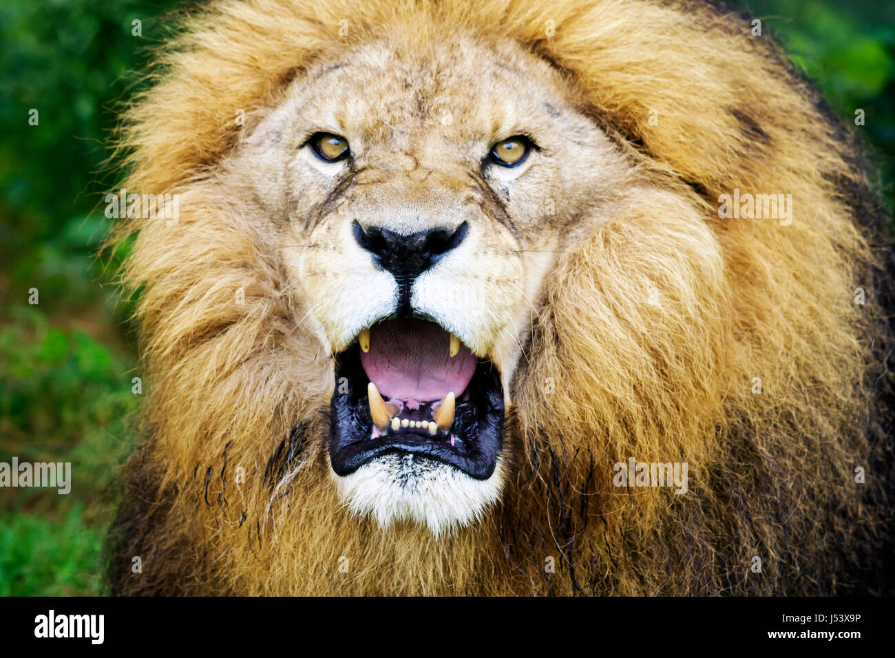 Arkansas Eureka Springs Turpentine Creek Wildlife Refuge rescuing exotic wild cats open habitat cage lion snarling - Stock Image