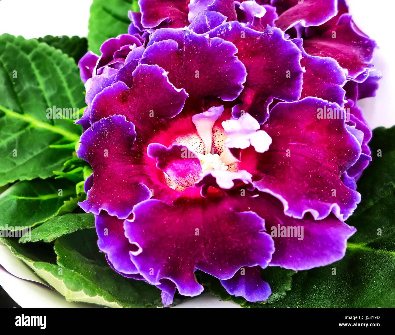 Www Gloxinia Flower