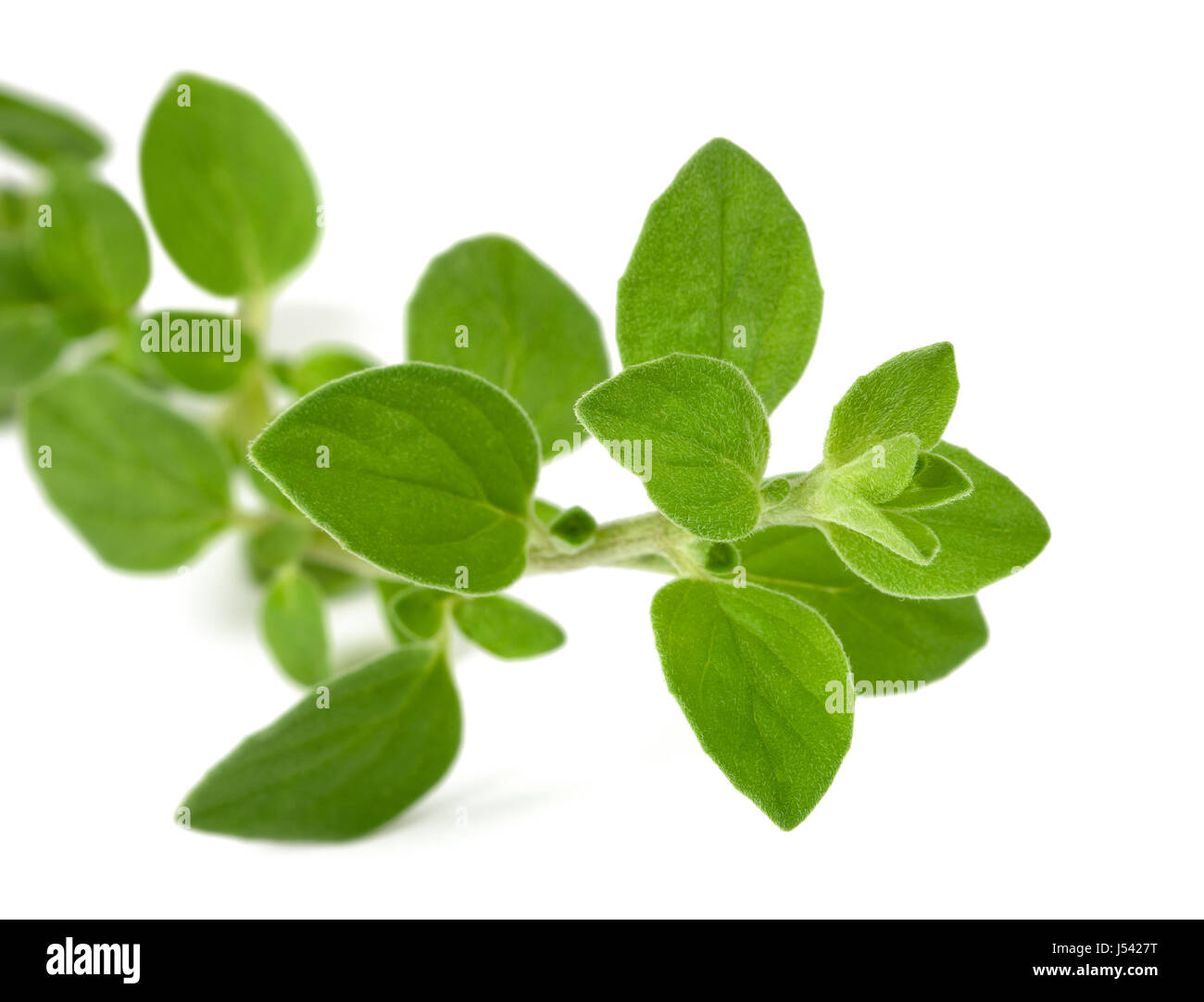 oregano sprig isolated on white background - Stock Image