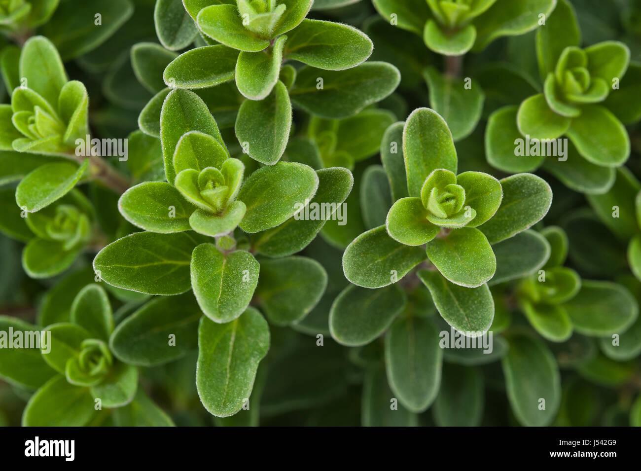 Fresh marjoram,Marjoram background, sprig of marjoram - Stock Image