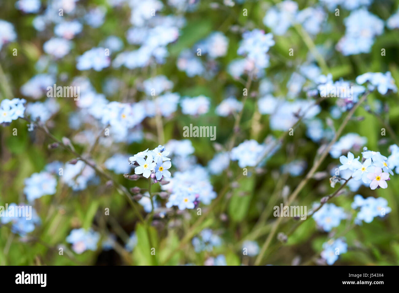 Blue flowered water forget-me-not (Myosotis scorpioides) plants growing in a English country garden flowerbed, UK. Stock Photo