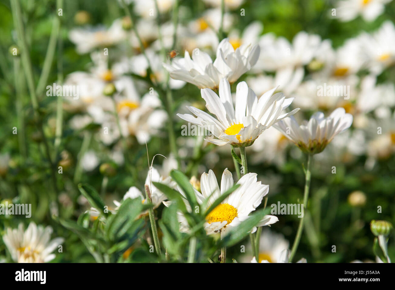 A field of white daisies - Stock Image