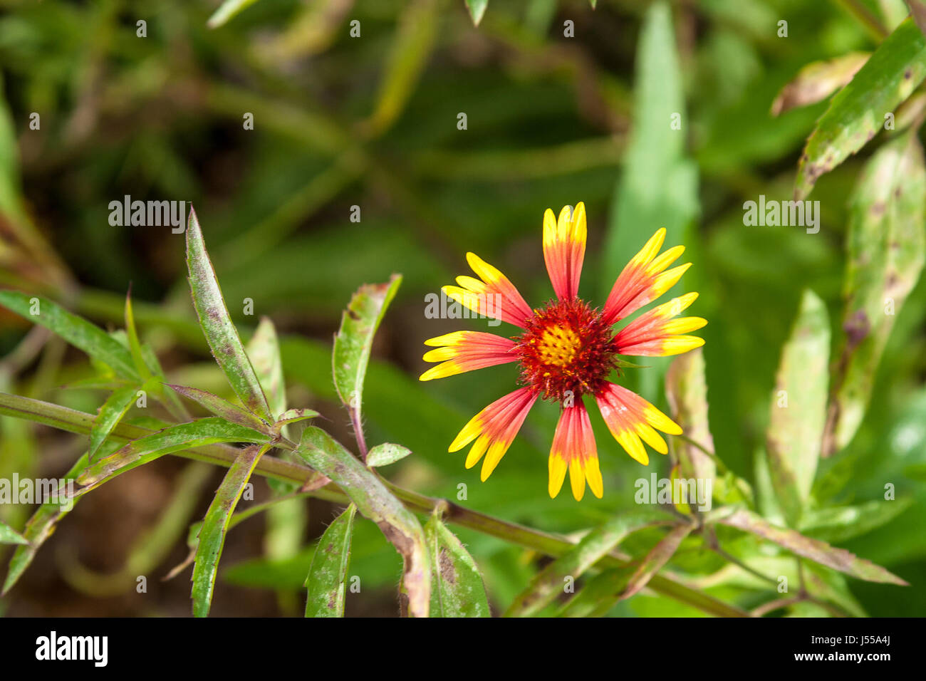 An Indian Blanket Flower - Stock Image