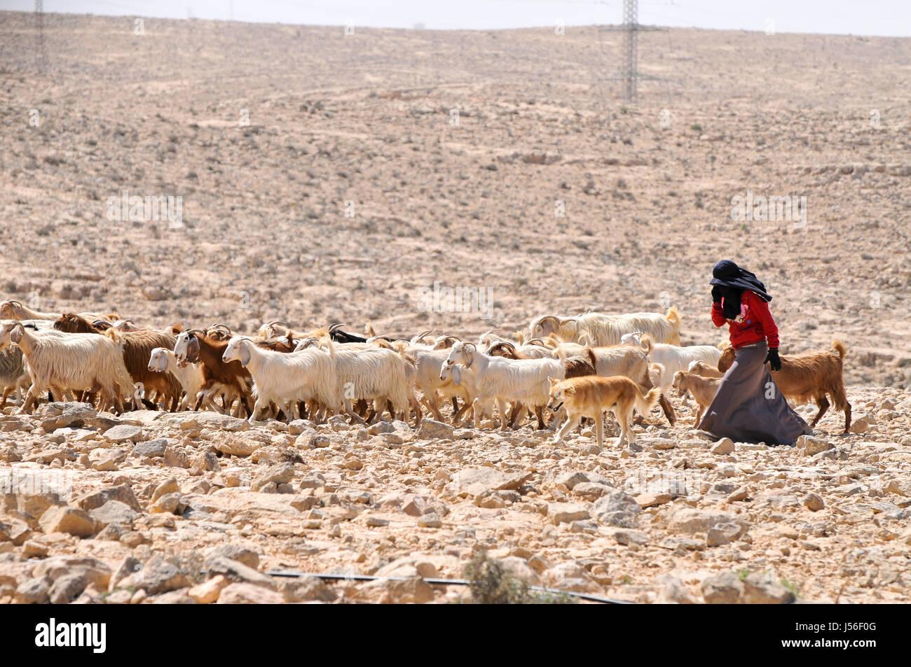 Israel, Negev desert, Mitzpe Ramon, female Bedouin shepherd and her herd of sheep - Stock Image