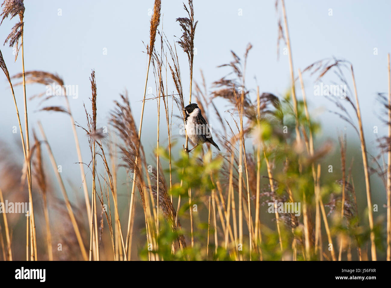 Common reed bunting Emberiza schoeniclus perched in Common reed Phragmites australis beside the River Avon Hampshire - Stock Image