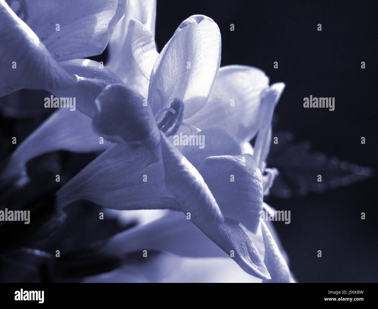flower,plant,toned,tinted,bellflower,glockenblumengewchs - Stock Image