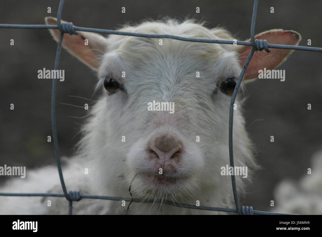 goat fence fenced kid caged zieglein kleine ziege weie ziege hinter