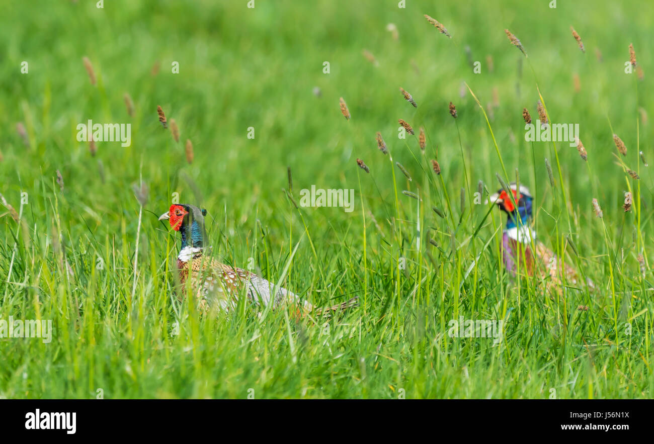 Pair of adult male Pheasants (Phasianus colchicus) walking through a field of long grass in late Spring in the South - Stock Image