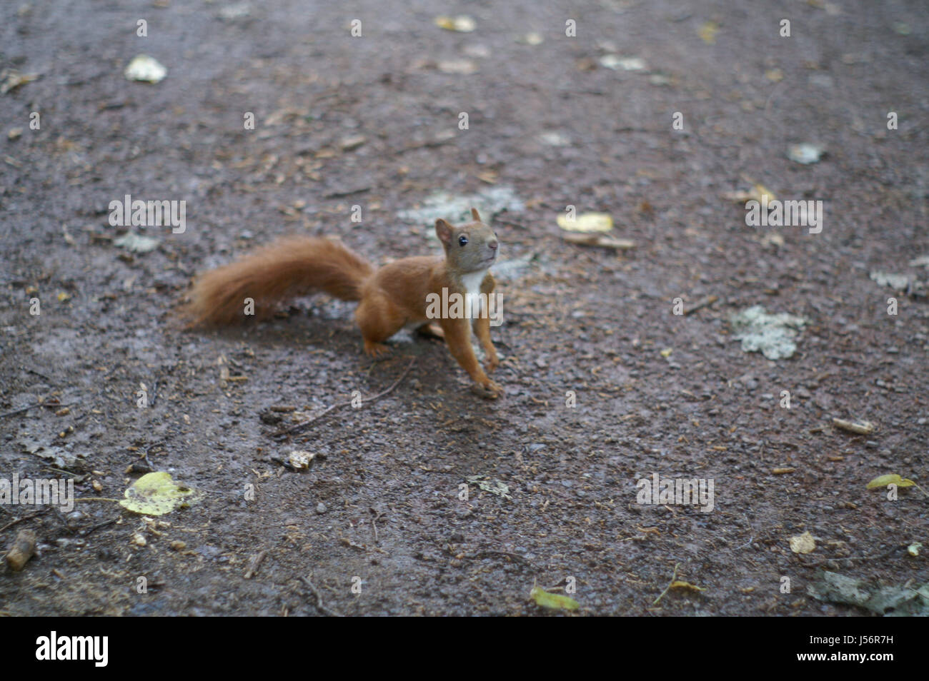animal,curious,rodent,squirrel,sniff,cute,nature,nagetie,flink Stock Photo