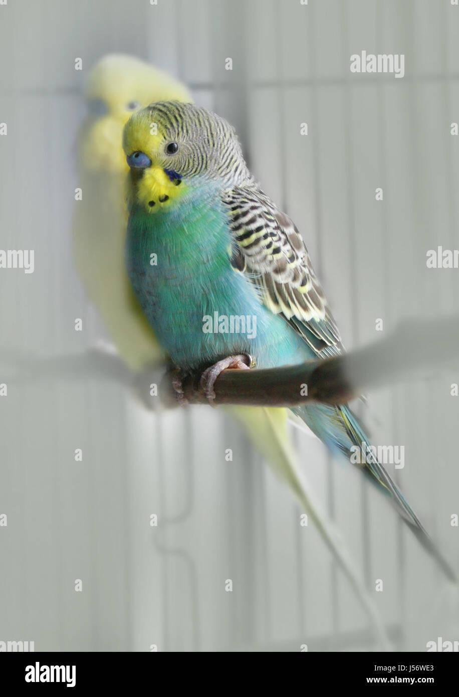 Pet Blue Birds