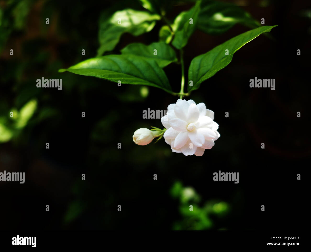 Jasmine Flowers Decoration White Stock Photos Jasmine Flowers