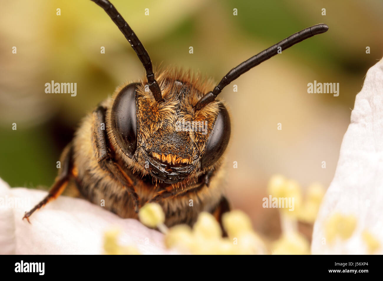 Leaf Cutter Cuckoo Bee - Stock Image