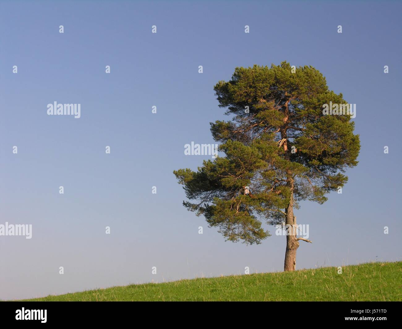 blue tree hill green pine agriculture farming field acre solitary farm - Stock Image