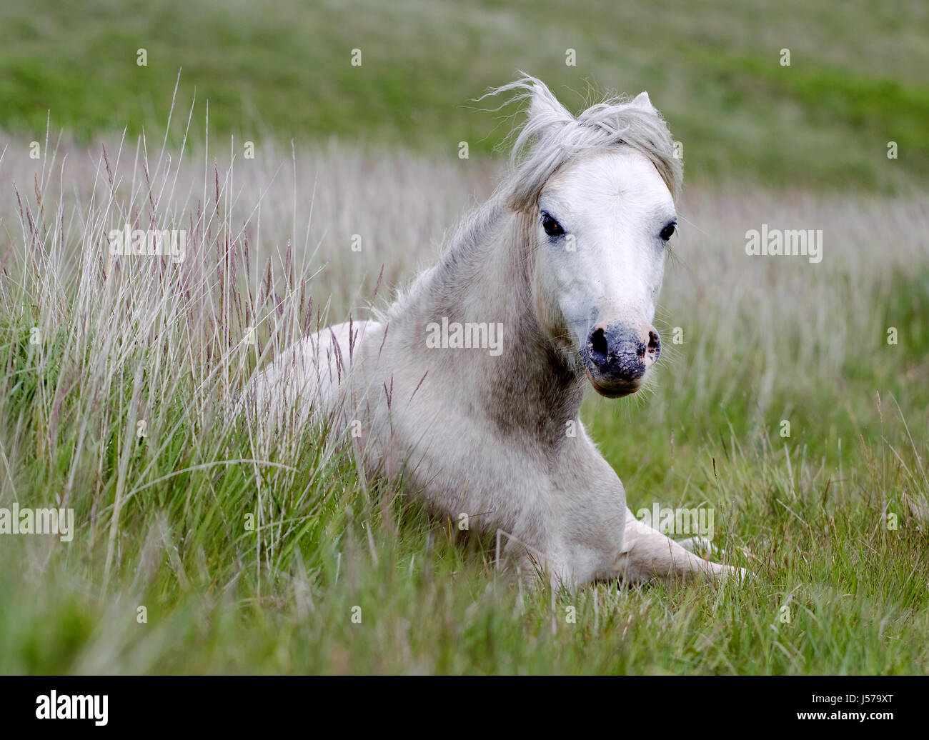 A white Gower Common ponie, Equus caballus, lying down inhe grass on aGower Peninsula Common, Wales, UK - Stock Image
