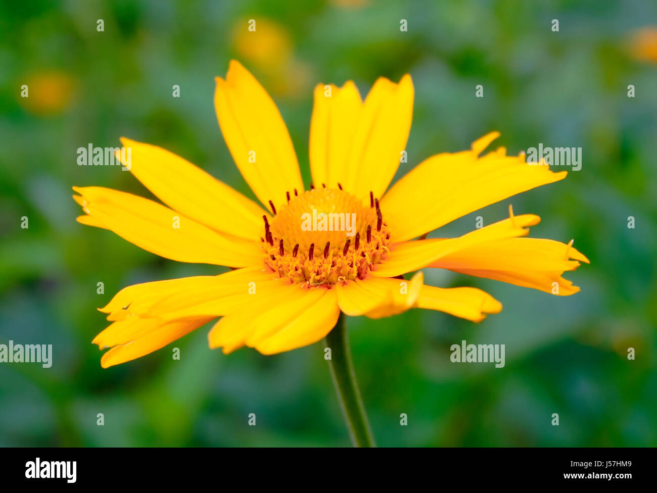 Close up of inflorescence plant from family Asteraceae (Compositae) on blurred background - Stock Image