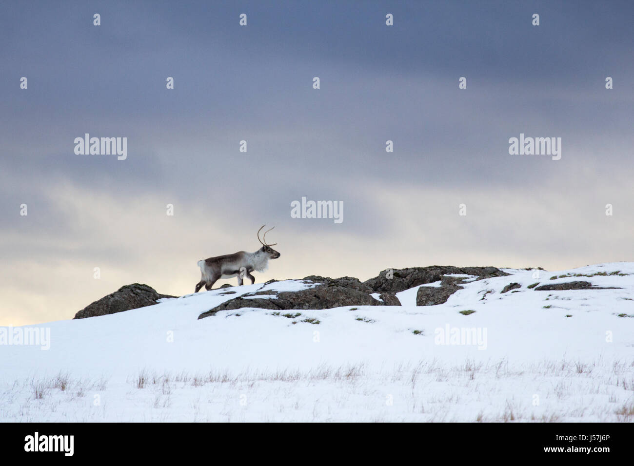 Icelandic reindeer in north east Iceland Stock Photo