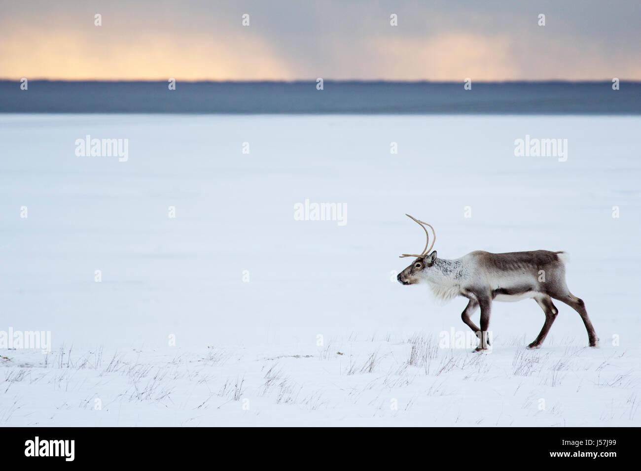Icelandic reindeer in north east Iceland Stock Photo